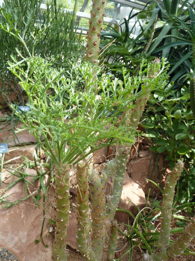 Pelargonium_crithmifolium