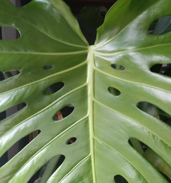 austin leaf