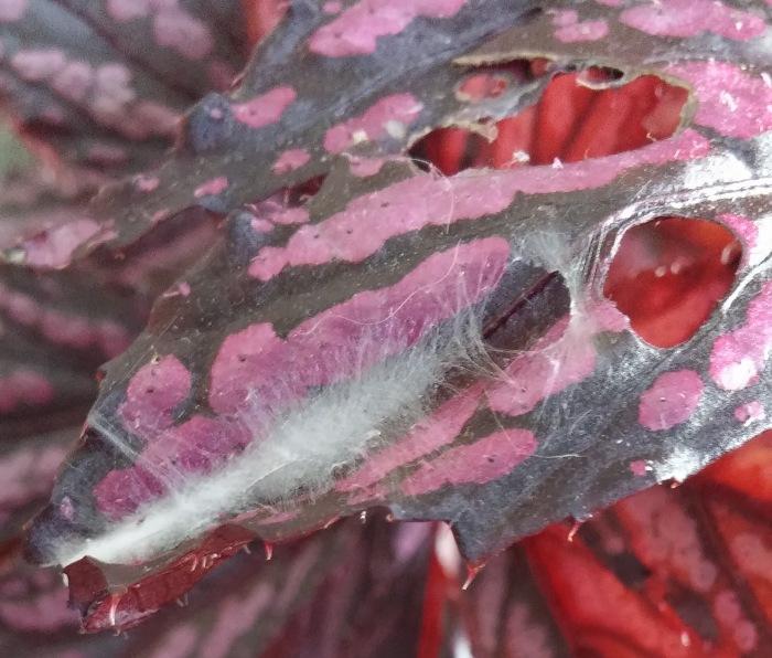 tortrix-on-begonia