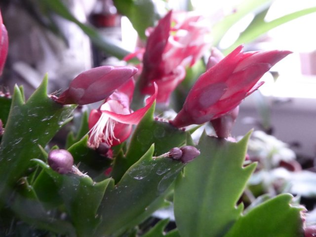 This Schlumbergera or Christmas Cactus is an example of a forest cactus.