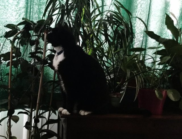 Baldrick contemplating whether to hit the  Hoya  or nudge the  Ficus alii  off the chest.