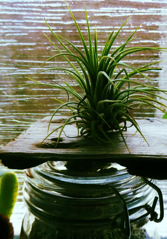 Tillandsia ionantha  demonstrating basic plonking.