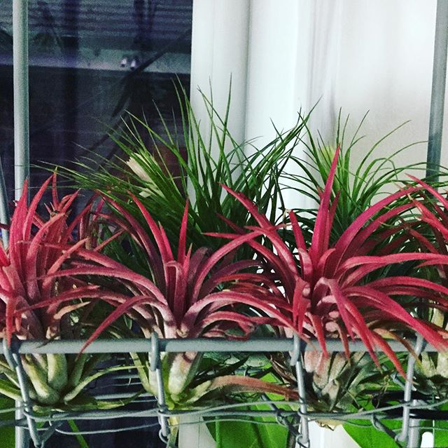 I will have some new #tillandsia for next @westgatehallcanterbury market. Phew! #houseplants #treatyoself